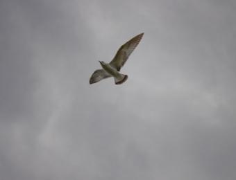 Brown-Seagull_web