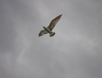 Brown-Seagull_web
